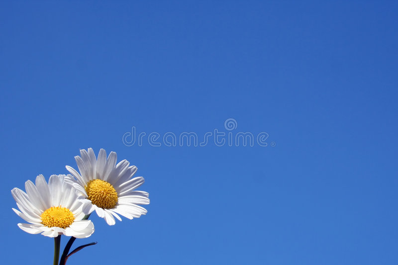 Download Two daisies stock image. Image of outside, petal, growth - 2318557