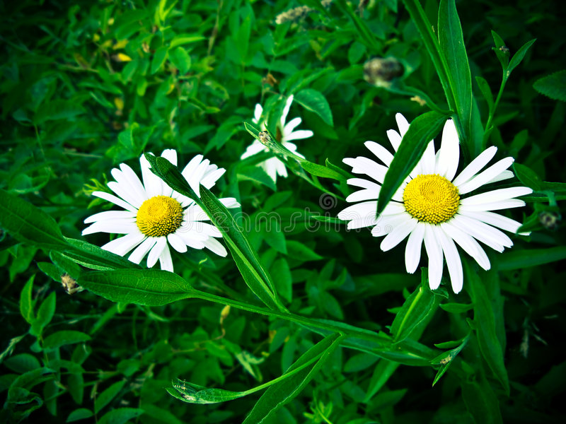 Two daisies royalty free stock photos