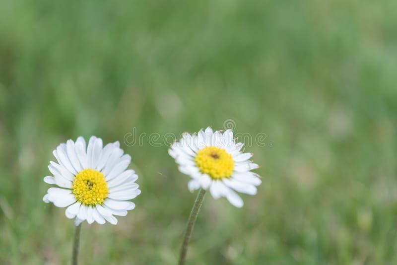 Two daisies in a garden royalty free stock photos