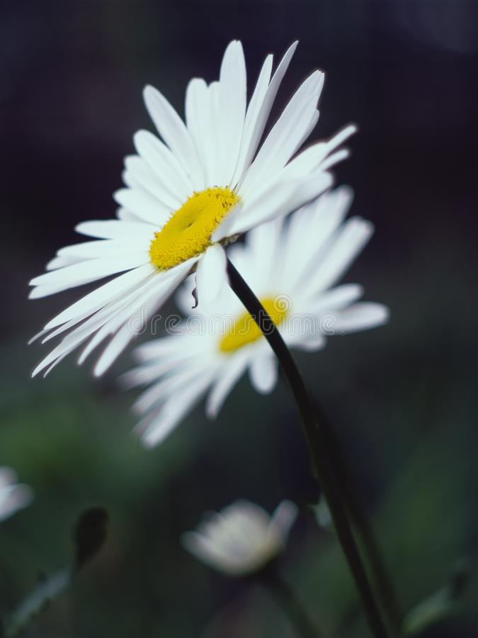 Two daisies in the garden stock image