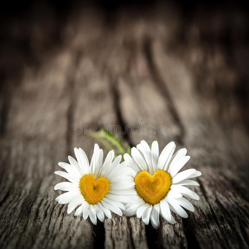 Two Daisies With Heart Shaped Centers stock photography
