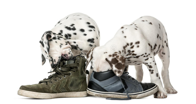 Two Dalmatian puppies chewing shoes. In front of a white background royalty free stock photo