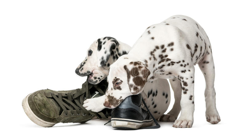 Two Dalmatian puppies chewing shoes. In front of a white background stock image