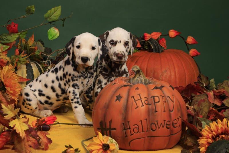 Two dalmatian puppies next to halloween pumpkin stock image