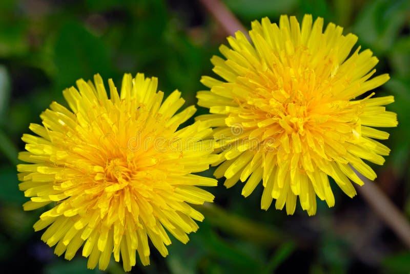 Two dandelion stock photography