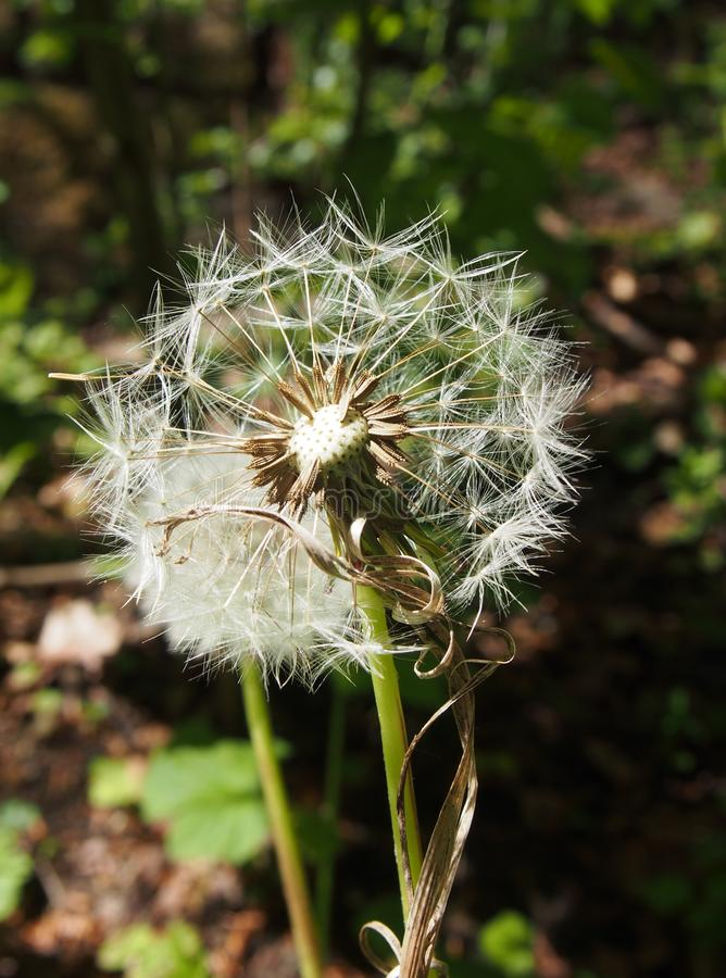 two dandelion clocks on a dark green sunlit meadow background royalty free stock photography