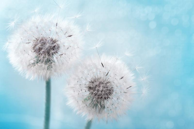Two dandelion flowers with flying feathers on blue bokeh background. Beautiful dreamy nature card. Two dandelion flowers with flying feathers on blue background stock photography