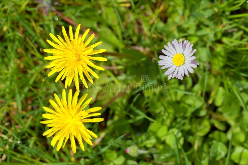 Two dandelion flowers and a wild marguerite. Between the grass stock photo