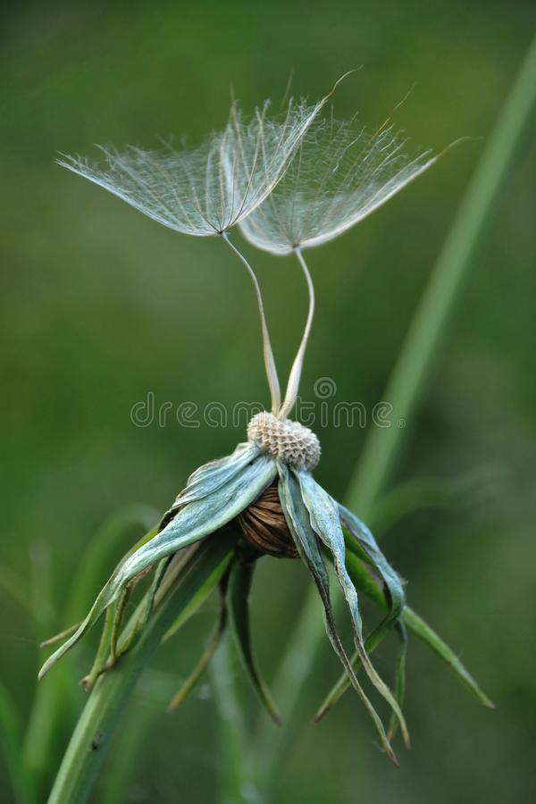 Two dandelion seeds stock photo