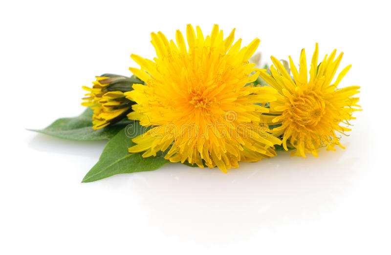 Two dandelions with leaves. stock photos