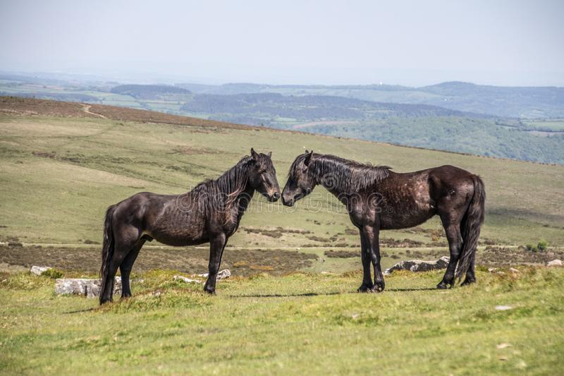 Two stallions in the Dartmoor National Park. Two Dartmoor ponies on the moors sniffing each other royalty free stock photography
