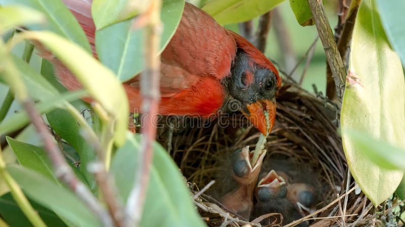 Two day old bird being fedd a worm by its father. A very red colored male cardinal bird is feeding his two day old chicks a green worm in their birds nest royalty free stock image