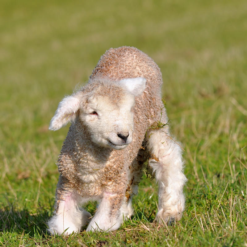 Free Two Days Old Lamb Royalty Free Stock Photography - 16456697