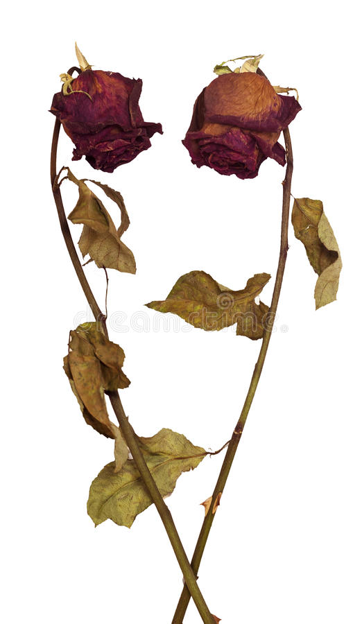 Two dead dried roses on white background stock image