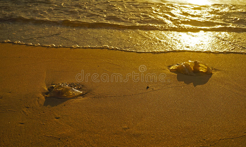 Two dead jelly-fish on the sea shore sand royalty free stock photography