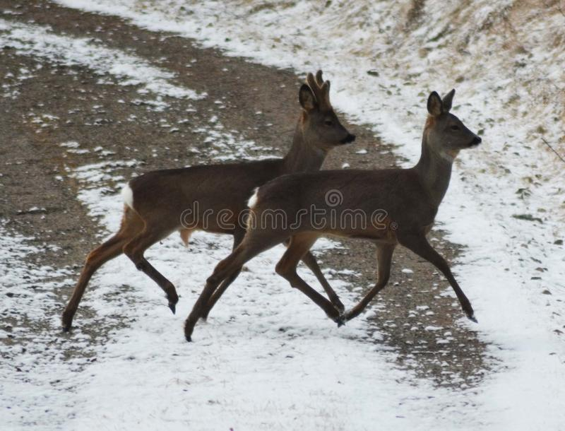 Two dears trotting royalty free stock photo