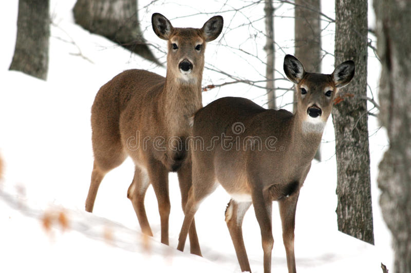 Two Deer. Two white tailed deer standing in the snow surrounded by trees
