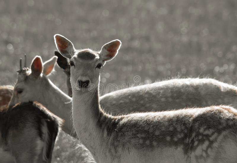 Two Deer royalty free stock images