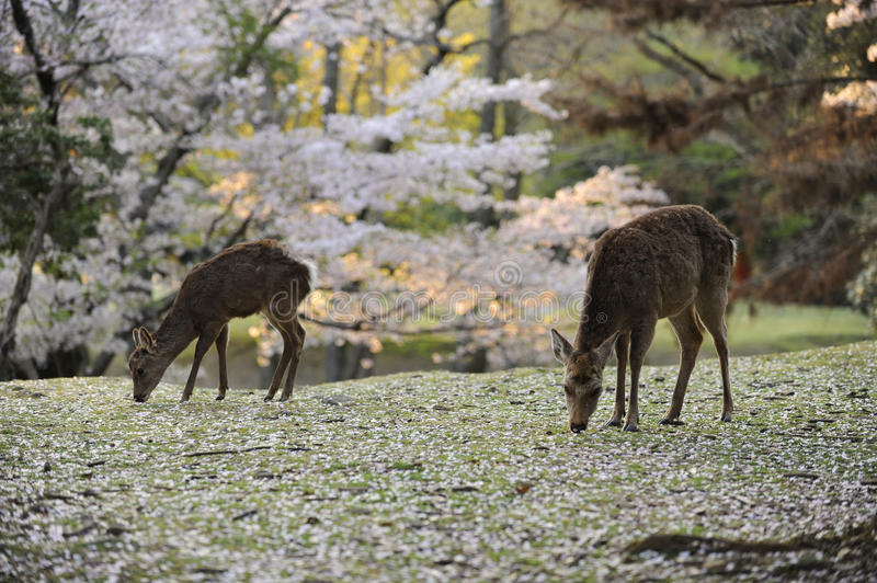 Download Two Deer Grazing Amongst Fallen Cherry Blossoms Stock Photo - Image: 9476392