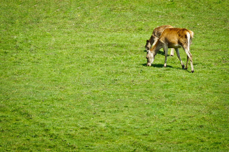 Two deers eating grass on the meadow stock image