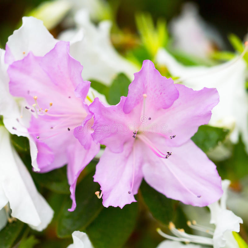 Two delicate lilac flower of rhododendron, bloom on a branch on a background of white flowers royalty free stock image