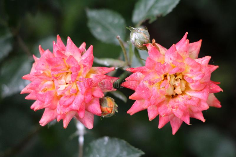Two densely layered bicolor pink and yellow roses growing in local urban garden surrounded with flower buds and dark green leaves. On warm sunny spring day stock images