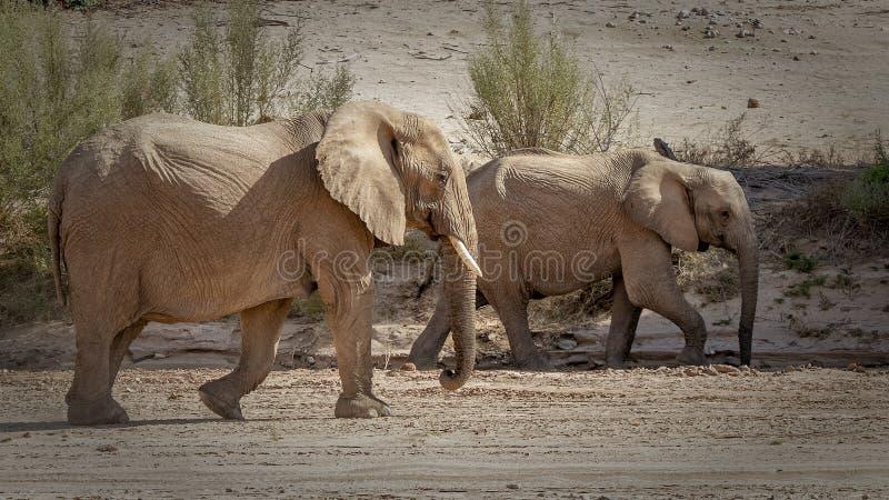Two walking desert elephants stock images