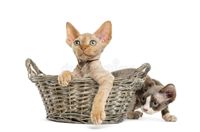 Two Devon rex in a wicker basket isolated on white. Two Devon rex kittens playing relaxed in a wicker basket isolated on white royalty free stock images