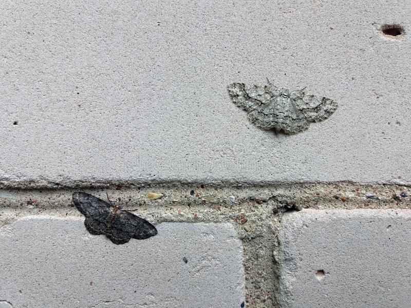 Two different color moths small dusty wave sitting on brick wall and illustrating a natural selection principle. stock images