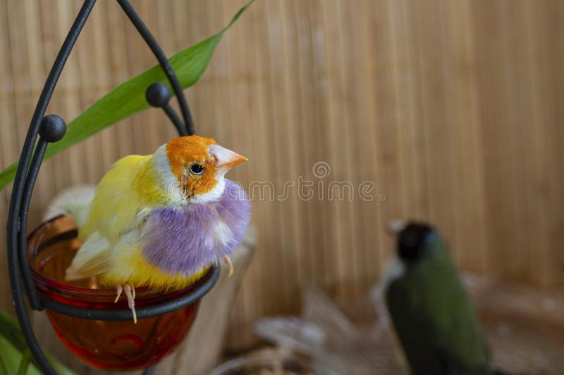 Two different Gouldian Finches that change their feathers, stock images