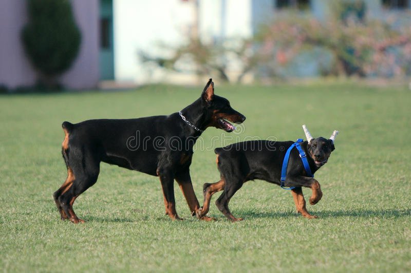 Two The Doberman Pinscher Royalty Free Stock Photography