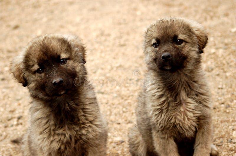 Two Dog Royalty Free Stock Photos