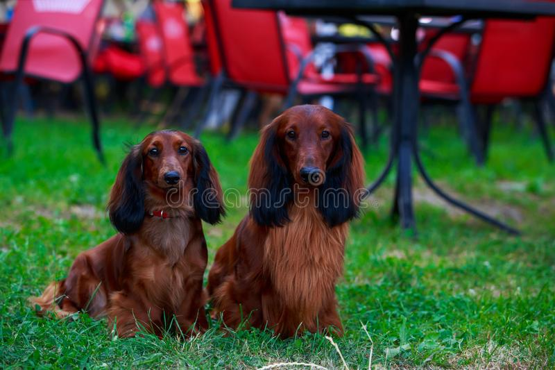 Dog breed long haired dachshund. Two dog breed long-haired dachshund in a public park royalty free stock images