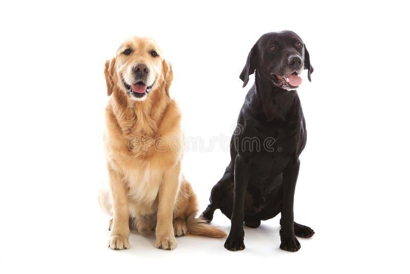 Two dog posing royalty free stock photo