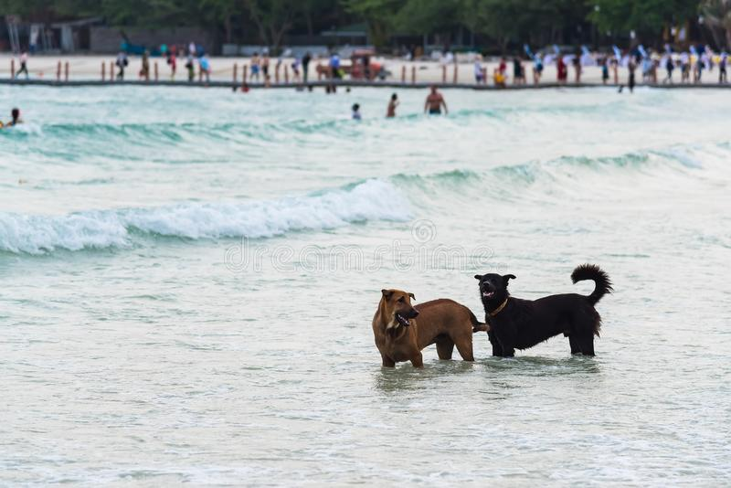 Two Dog Running on the Beach.Dog in the sea.Thailand. Action, active, adorable, animal, breed, bring, canine, carry, chase, cheerful, coast, companion, cute royalty free stock photo