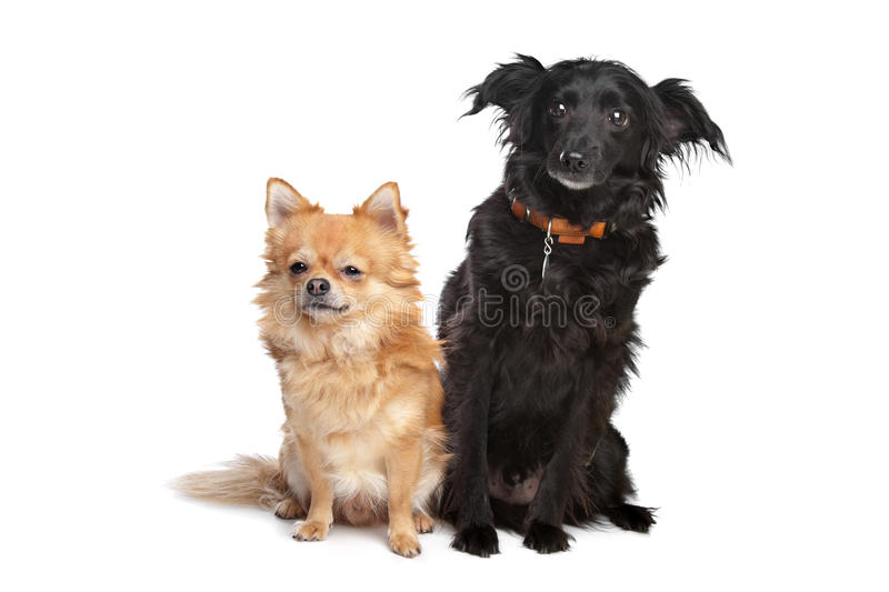 Download Two dogs stock photo. Image of couple, bred, pedigreed - 22876432