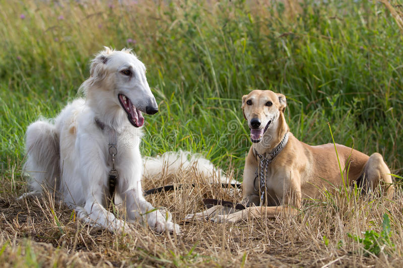 Download Two dogs stock image. Image of animal, hunt, grass, together - 25924507