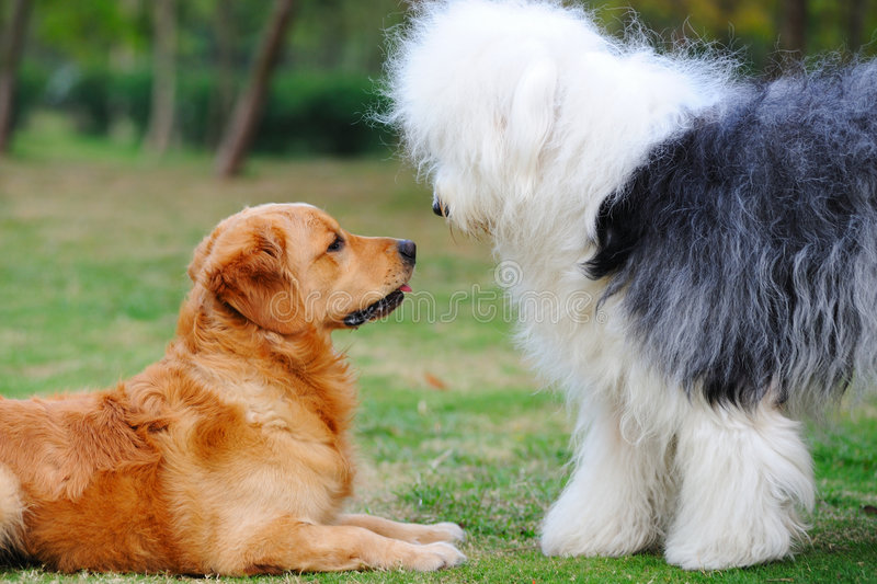 Download Two dogs stock photo. Image of curious, english, golden - 8924810