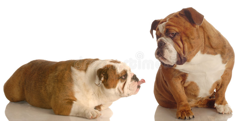 Two dogs arguing. English bulldog sticking her tongue out at another bulldog that is giving attitude royalty free stock photos