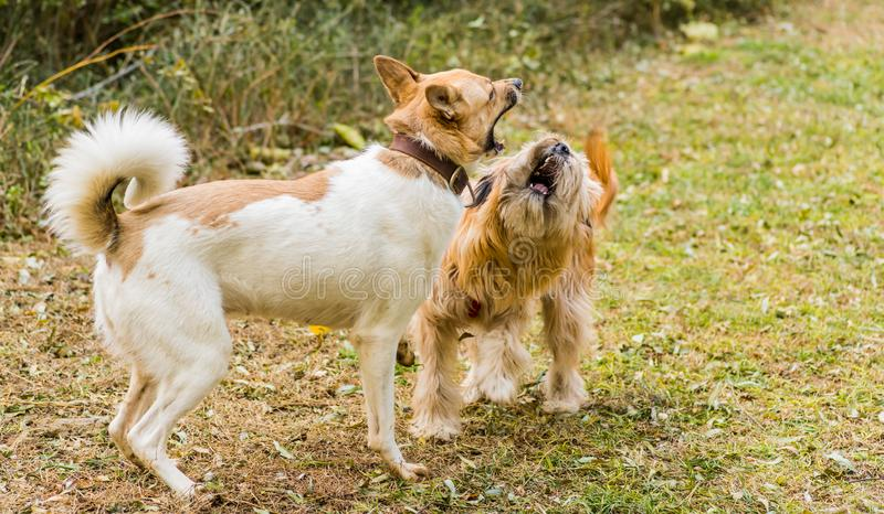 Two dogs barking at each other. dogs fighting stock photo