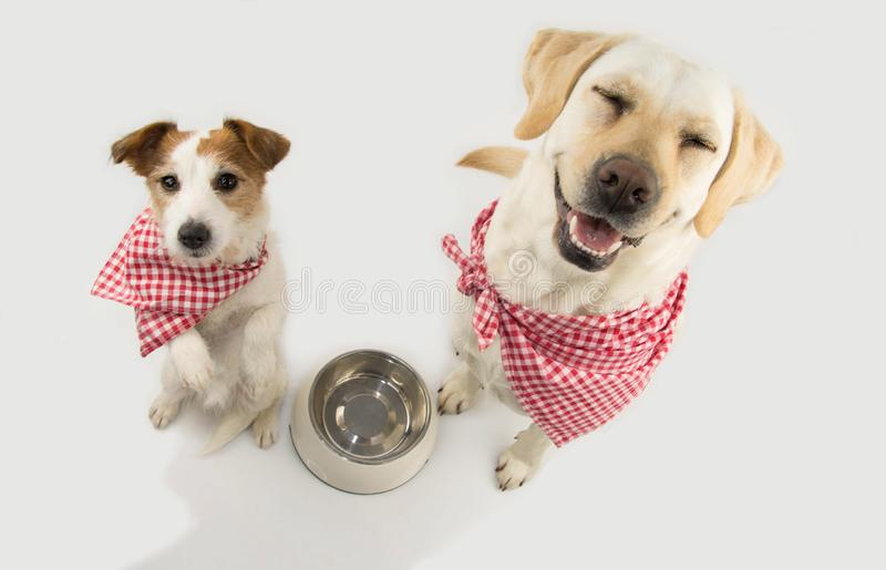 TWO DOGS BEGGING FOOD. LABRADOR AND JACK RUSSELL WAITING FOR EAT WITH A EMPTY BOWL. CLOSED EYES STANDING ON TWO LEGS. DRESSED WITH stock image