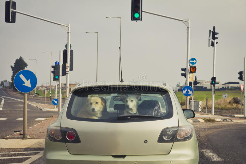Two dogs behind the rear car window stock images