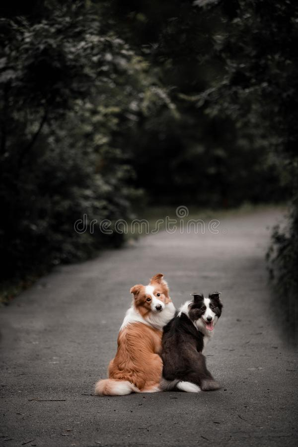 Two dogs black and red border collie sit in the middle of the road surrounded by forest royalty free stock image