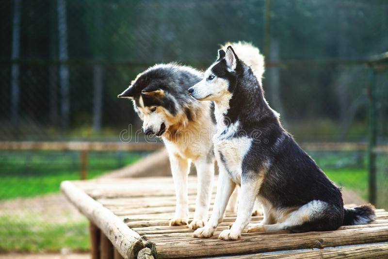 Two Dogs Of Breed Husky Royalty Free Stock Images