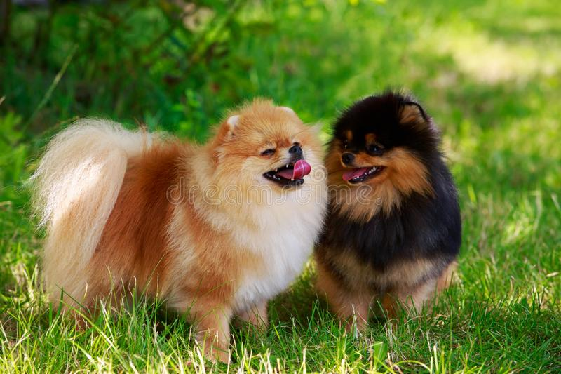 The dog breed pomeranian spitz. Two dogs of the breed Pomeranian spitz on green grass royalty free stock photo