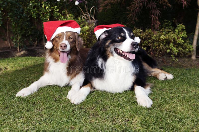 Two Dogs Celebrate Christmas Happy Couple garden Sunny Day. Two Dogs Celebrate Christmas with red hats in a garden. Happy Couple of Australian shepherd stock photography