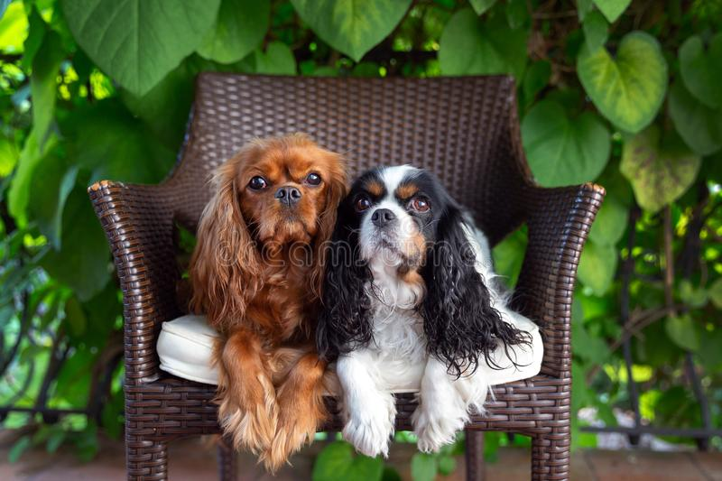 Two dogs on the chair stock photos
