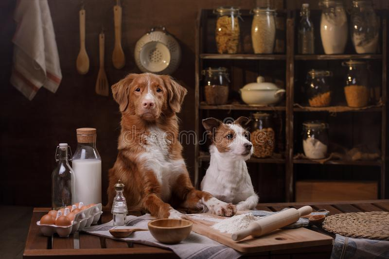 Two dogs are cooking in the kitchen. Pet at home stock photos
