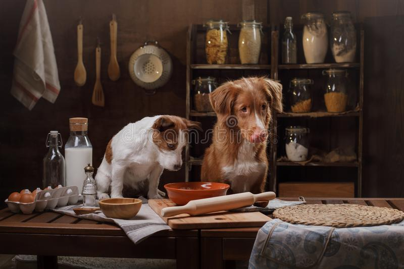 Two dogs are cooking in the kitchen. Pet at home stock image