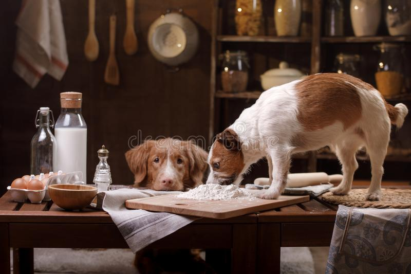 Two dogs are cooking in the kitchen. Pet at home stock photo